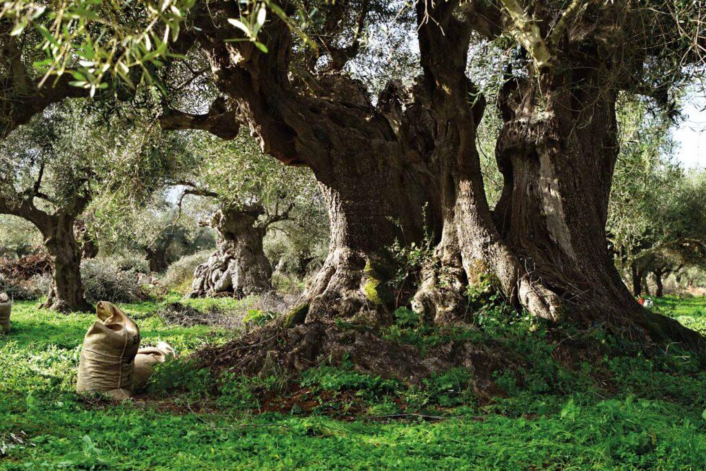 Olive Tourism